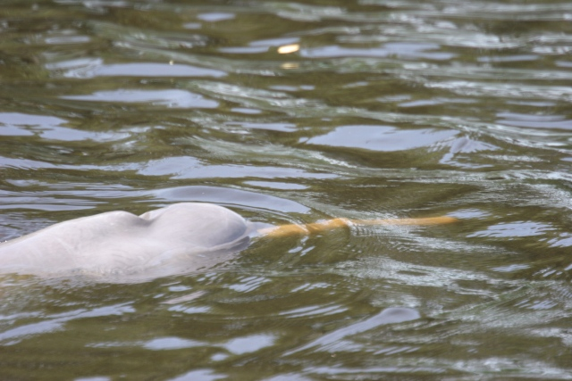 Pink dolphin of the Amazon basin