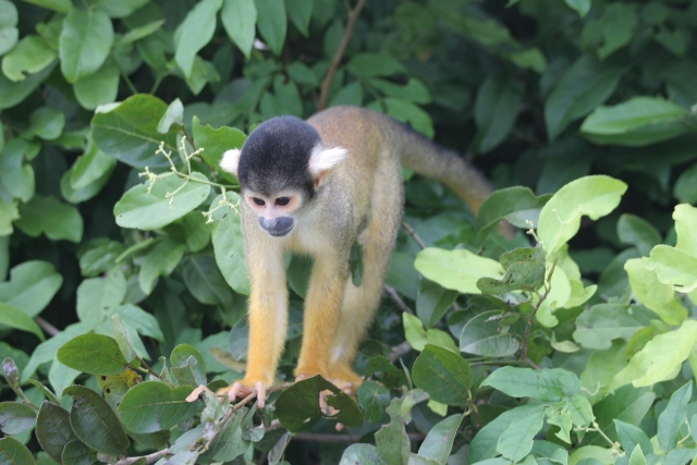 Monkey of the Yacuma river